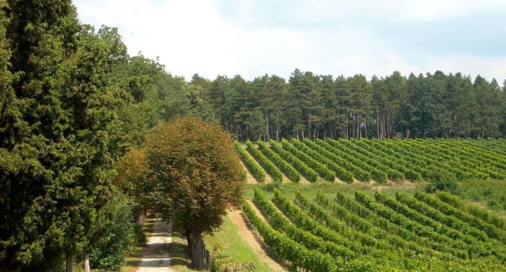 Šumovit prilaz hotelu ored koga se nalaze vinogradi